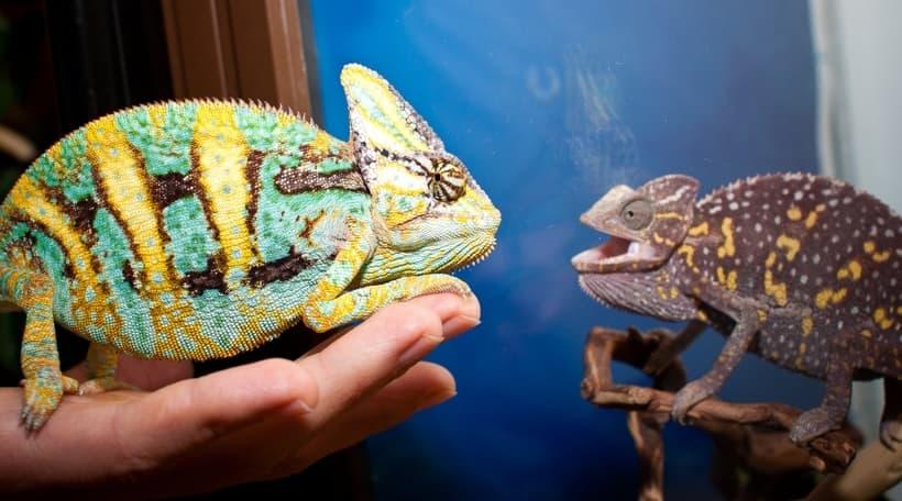 Отличия самцов и самок хамелеонов
