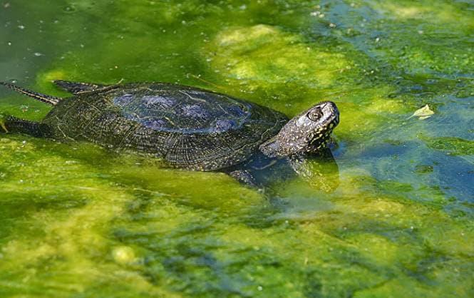 уход за болотной черепахой