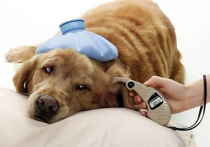 Гипогликемия у собак мелких пород лечение