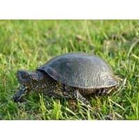Европейская болотная черепаха - уход и содержание, фото