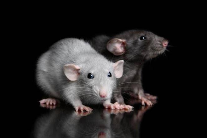 Болезни декоративных крыс